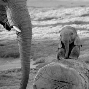 babyelephant
