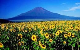 sunflowers-fukushima-537x339