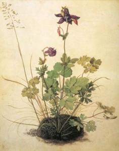 Durer-aquilegia-vulgaris