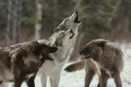 wolf-pack-howling-med1