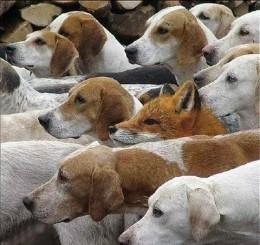Fox-Among-Hounds