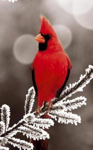 redbirdinsnow