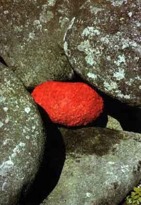 rock poppy petals