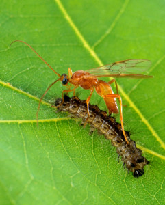 Parasitic wasp laying eggs inside living caterpillar host