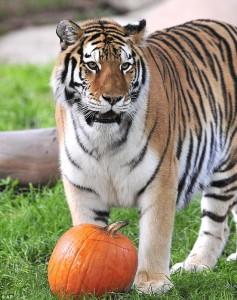 TigerPumpkin