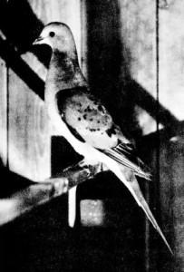 Странствующий голубь, питомец американского зоолога Чарльза Уитмена, фото 1896 г.