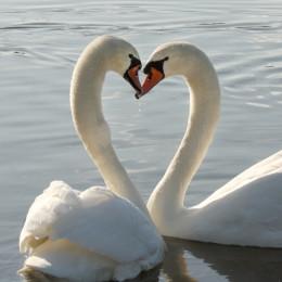 mute-swan-pair